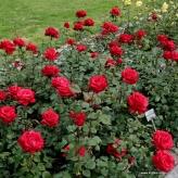 Grande Amore - ruža veľkokvetá, KORDES