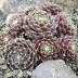 Sempervivum arachnoideum ´Rubrum´, kvetináč K9