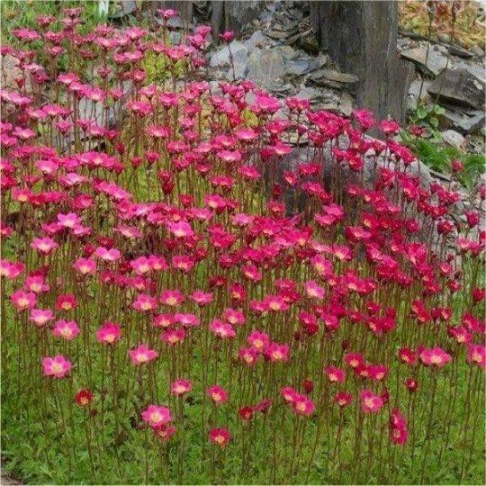 Saxifraga červená, Saxifraga Mossy Red