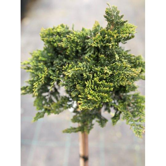 Borievka rozprestretá ´Prince of Wales´, Juniperus horizontalis ´Prince of Wales´, kont. 5l , na kmienku mini