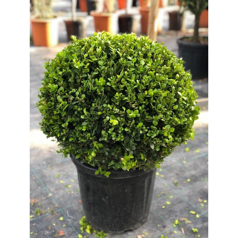 Krušpan vždyzelený- Buxus´ Microphylla Faulkner´ kont.18l