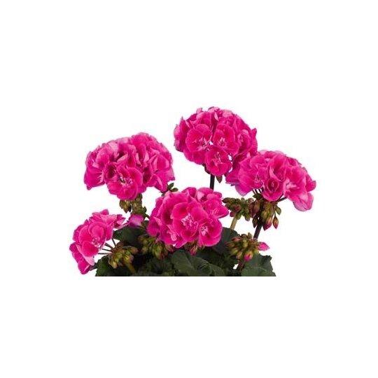 Muškát ružový ´HOT PINK´, 0,75l