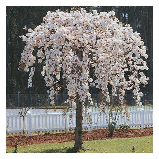 Višňa chÍpkatá, Prunus Subhirtella, kont. 15l, na kmienku