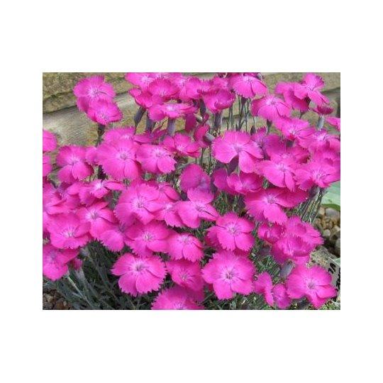 Klinček ´Whatfield Magenta´, Dianthus ´Whatfield Magenta´, kont. 1l