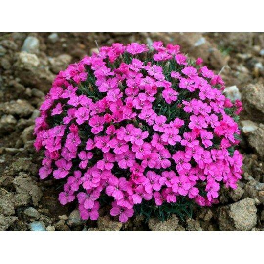 Klinček , Dianthus microlepis, kont. 1l
