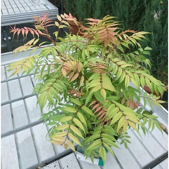 Sorbaria sorbifolia , Tavoľníkovec jarabinolistý, 20-30 cm, K9