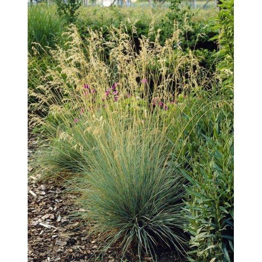 Ometlina sivá, Koaleria glauca, kvetináč 1l