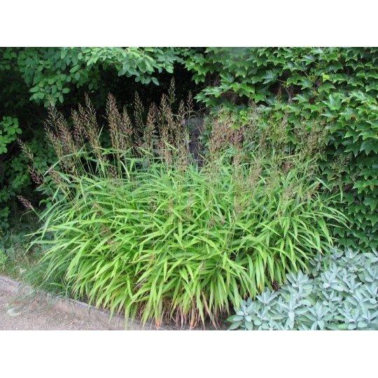 Spodiopogon sibírsky, kont. 2L