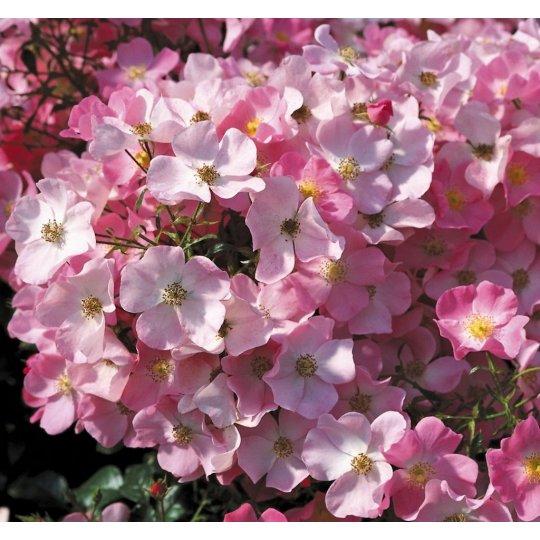 FORTUNA - ruža mnohokvetá, KORDES kont.2l