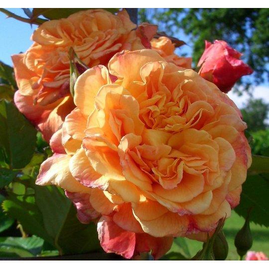 ALOHA- ruža popínavá KORDES, kont.2l