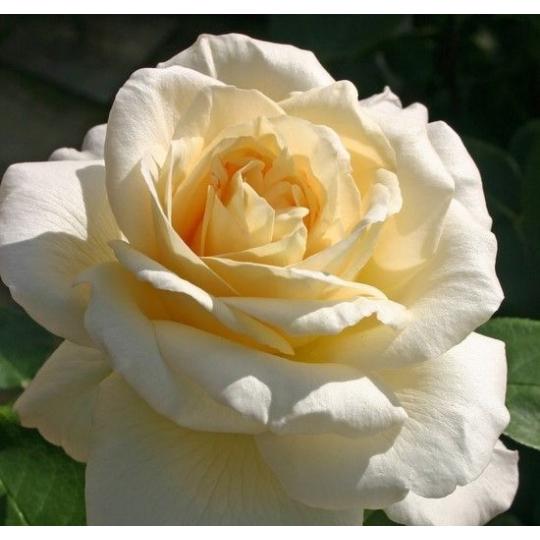 Ruža veľkokvetá 'LA PERLA'®, kont.2l