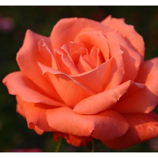 Ruža veľkokvetá 'HAMBURGER DEERN', KORDES, kont.2l