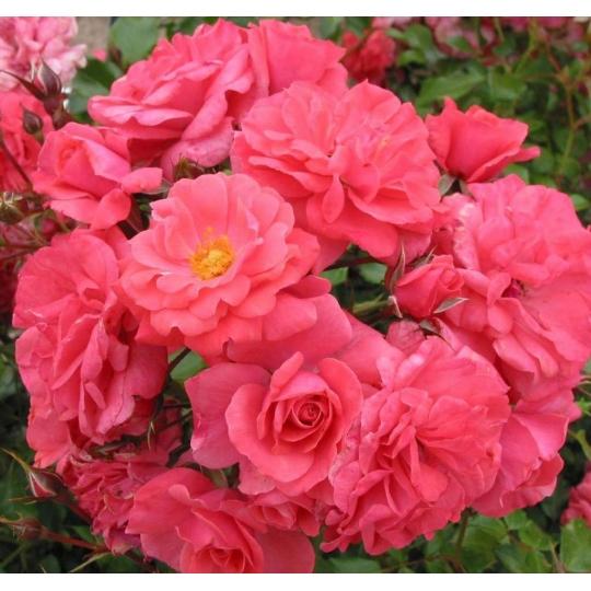 BAD BIRNBACH, ruža mnohokvetá KORDES