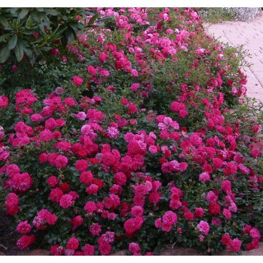 Knirps, ruža pôdopokryvná KORDES, kont.2l