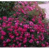 KNIRPS, ruža pôdopokryvná, KORDES, kont.2l