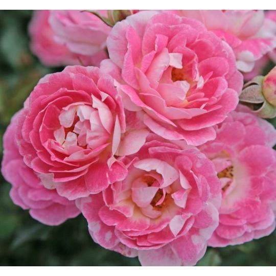 FLIRT 2011® , ruža mini, KORDES, kont.2l