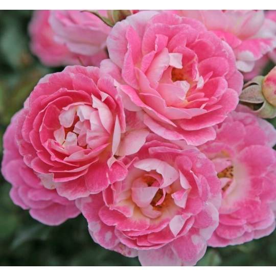 FLIRT, ruža mini, KORDES, kont.2l
