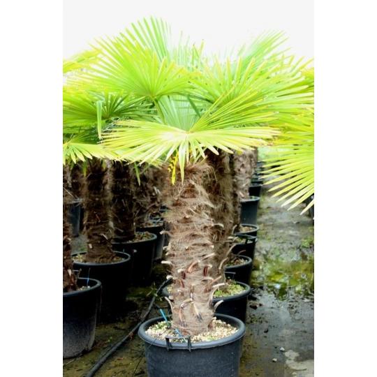Palma himalájska, Chamaerops excelsa,  mrazuodolná, kvetináč 50l, kmeň 80cm