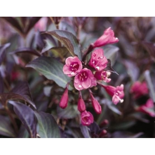 Vajgela kvetnatá ružová nízka, Weigela florida NANA PURPUREA, kvetináč 2l