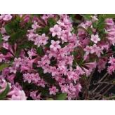 Vajgela kvetnatá ´PINK POPPET´, kont. 1,4l
