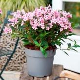 Vajgela kvetnatá, Weigela florida 'Plangen' PINK POPPET, kvetináč 1,5l