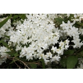 Trojpuk něžný, Deutzia gracilis, kvetináč 1,5l
