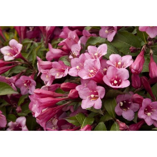 Vajgela zakrpatená 'MINUET' , Weigela florida 'MINUET', kvetináč 1,5l