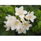 Vajgela kvetnantá ´CANDIDA´, Weigela florida ´CANDIDA´, kvetináč 2l
