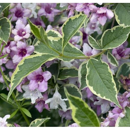 Vajgela kvetnantá ´VARIEGATA NANA´, Weigela florida ´VARIEGATA NANA´, kvetináč 2l