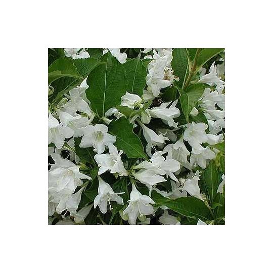 Vajgela kvetnantá ´BRISTOL SNOWFLAKE´, Weigela florida ´BRISTOL SNOWFLAKE´, kvetináč 3l