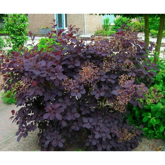 Škumpa vlasatá  ´ROYAL PURPLE´, 20-30 cm, kont. 2,5l