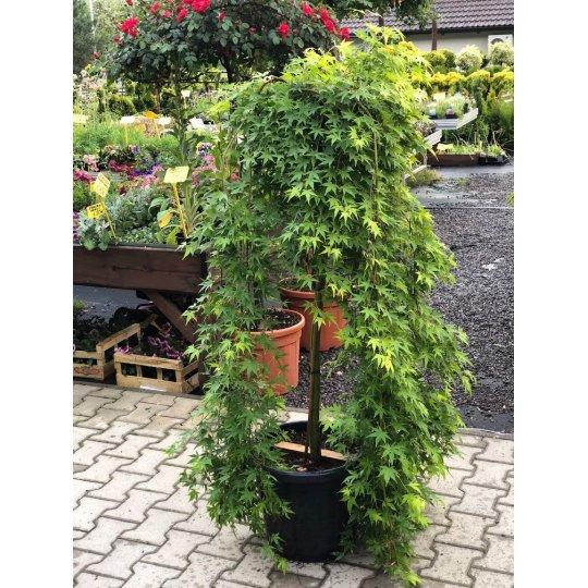 Japonský javor ´RYUSEN´ – Acer Palmatum ´RYUSEN´