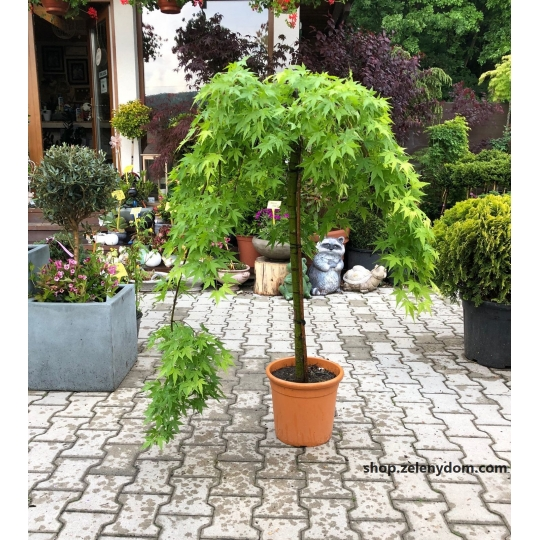 Japonský javor ´RYUSEN´ – Acer Palmatum ´RYUSEN´, 110cm, kvetináč 15l