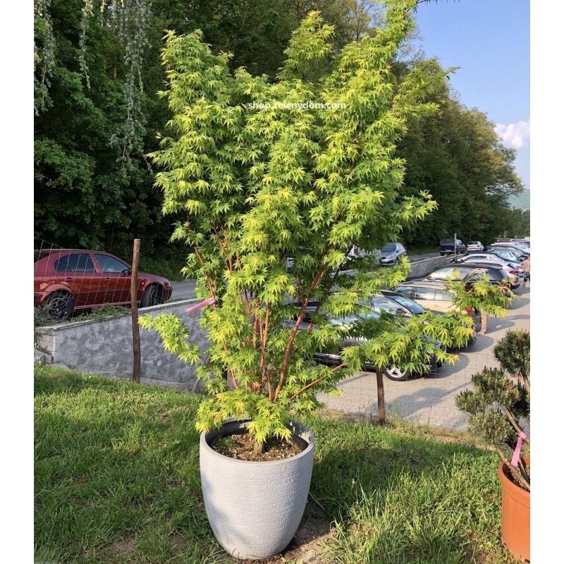 JAPONSKY JAVOR - Acer palmatum ´CORALLINUM ´ kont. 50l