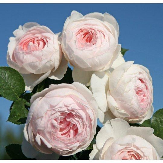 Ruža Herzogin Christiana ®, ruža mnohokvetá KORDES