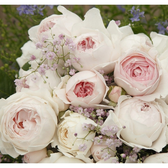 HERZOGIN CHRISTIANA®, ruža mnohokvetá KORDES