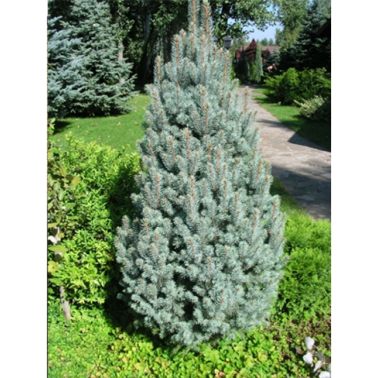 Smrek pichľavý stĺpovitý, Picea Pungens´Iseli Fastighate´, kont. 7,5l