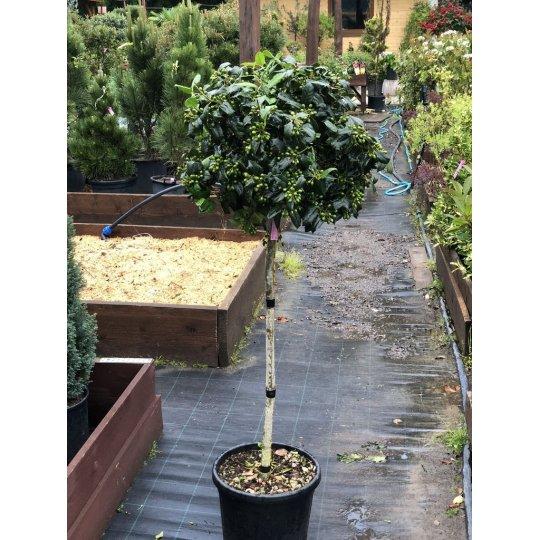 Cezmína ostrolistá ´Verde´, Ilex aquifolium ´Verde´, črepník 20l