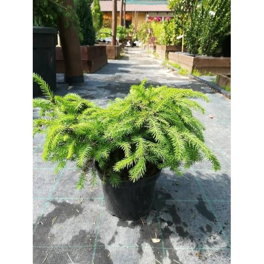 Smrek obyčajný ´Nidiformis´ ,Picea abies ´Nidiformis´,kont.2l