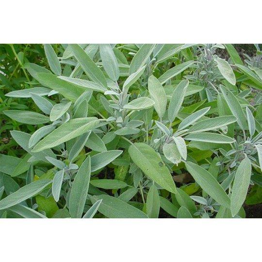 Šalvia lekárska, (Salvia officinalis), kont. K9