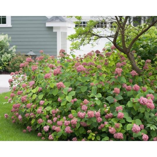 Hortenzia stromčekovitá ´Invicibelle´ Hydrangea arborescens´Invicibelle´, kont..10l