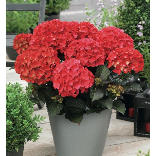 Hortenzia veľkolistá ´Red Angel´, Hydrangea macrophylla ´Red Angel´, kont.3l