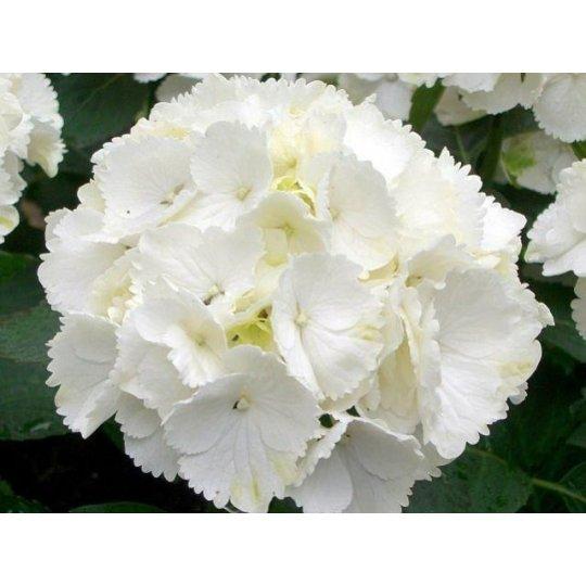 Hortenzia veľkolistá ´Schneeball´, Hydrangea macrophylla ´Schneeball´, kont.10l