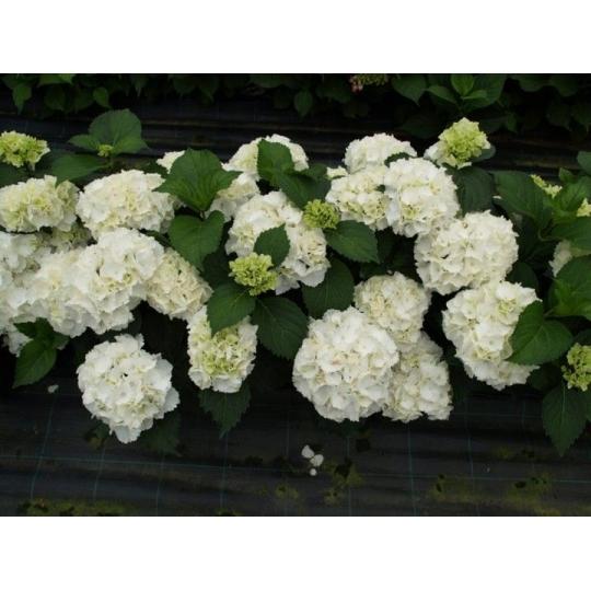 Hortenzia veľkolistá ´Schneeball´, Hydrangea macrophylla ´Schneeball´, kont.3l