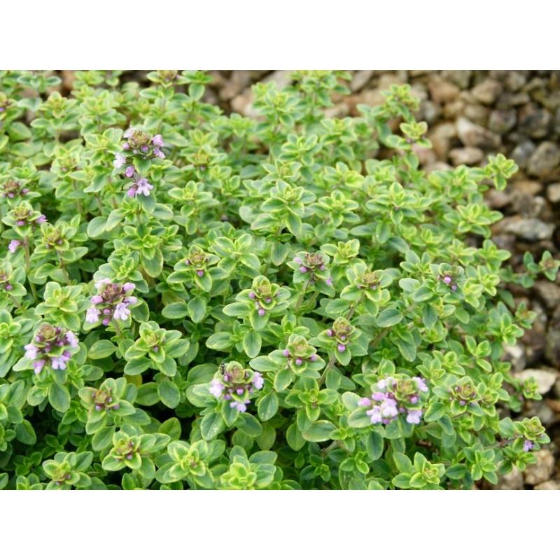 Materína dúška citrónová, Thymus citriodorus ´Limone´.kont.K9