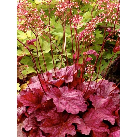 Heuchera´Berry Smoothie´, Heucherella´Berry Smoothie´.kont.K9