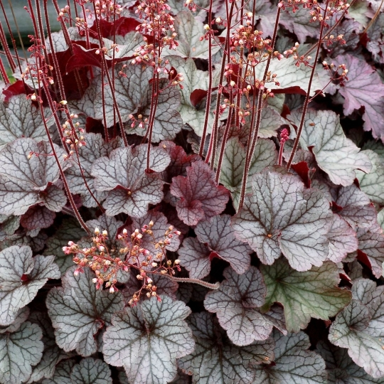 Heuchera´Northern Exposure Silver´, Heucherella´Northern Exposure Silver´.kont.K9