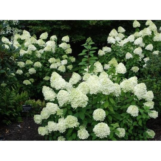 Hortenzia metlinatá ´Limelight´,  Hydrangea paniculata ´Limelight ´, kont.10l