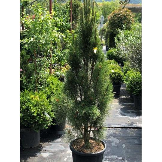 Borovica čierna, Pinus nigra ´Fastigiata´ (austriaca), črepník 30l