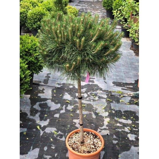 Borovica čierna ´Brepo Bambino´, Pinus nigra ´Brepo Bambiono´, črepník 18l NA KMIENKU